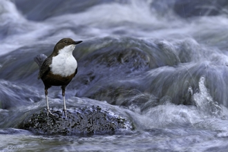Dipper (Cinclus cinclus) on river Brecon Beacons National Park,Wales, UK