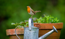 Robin sat on a watering can