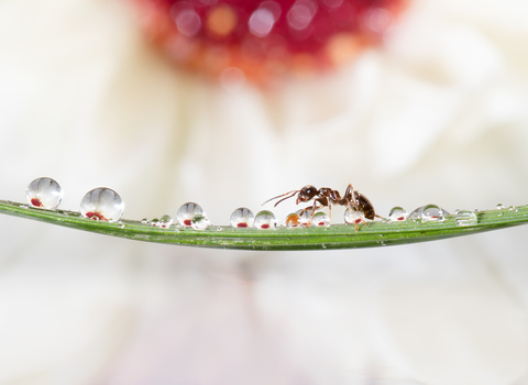 An ant walks across a piece of grass covered in dew drops with a flower in the background