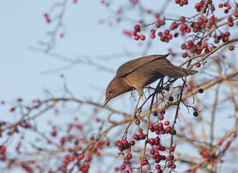 A female blackbird on a hawthorn tree with berries